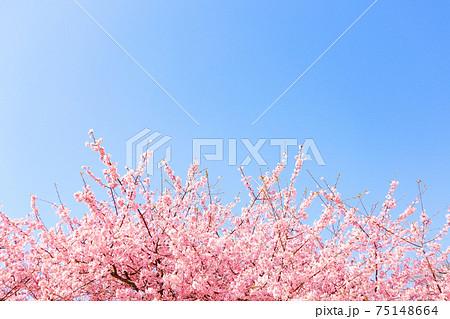 空に向かって伸びる 満開の河津桜【松田山】 75148664