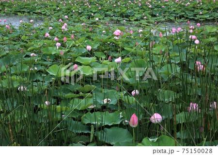 琵琶の湖に咲く蓮・7(滋賀県長浜市湖北) 75150028