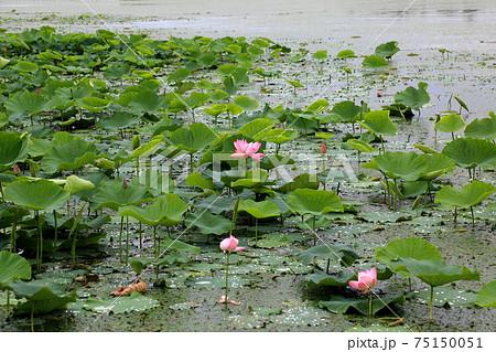 琵琶の湖に咲く蓮・26(滋賀県長浜市湖北) 75150051