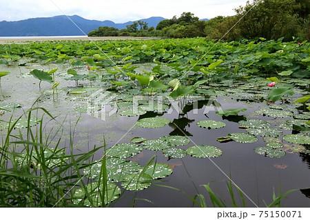 琵琶の湖に咲く蓮・45(滋賀県長浜市湖北) 75150071
