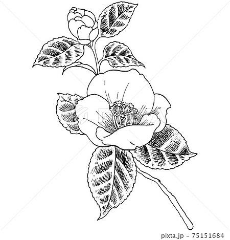 植物画 - ツバキ 75151684