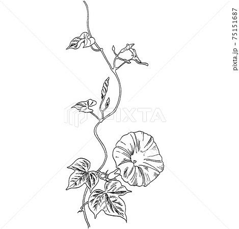 植物画 - アサガオ 75151687
