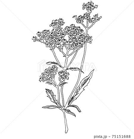 植物画 - オミナエシ 75151688