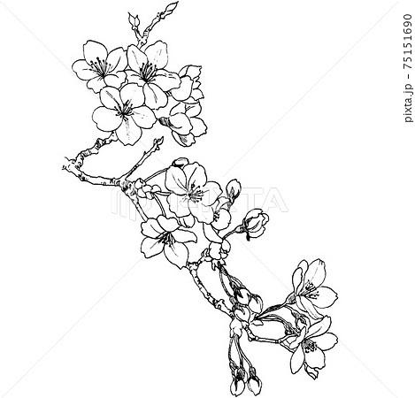 植物画 - サクラ 75151690