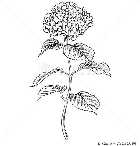 植物画 - アジサイ 75151694