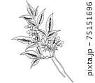 植物画 - ナンテン 75151696