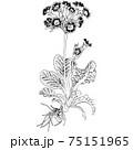 植物画 - プリムラ 75151965