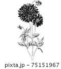 植物画 - ダリア 75151967