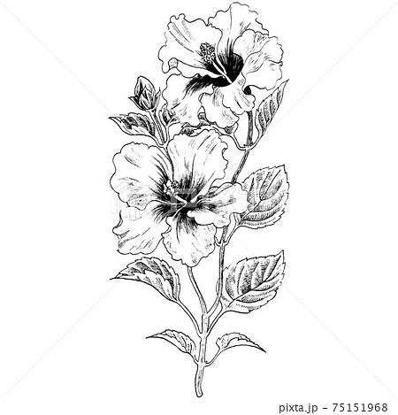 植物画 - ハイビスカス 75151968