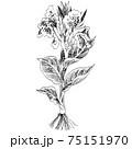 植物画 - カンナ 75151970