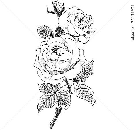 植物画 - バラ 75151971