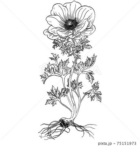 植物画 - アネモネ 75151973
