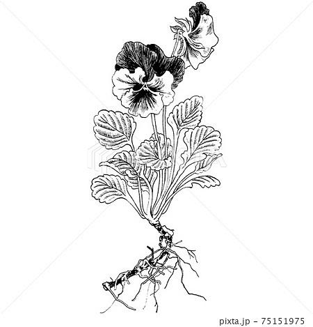 植物画 - パンジー 75151975