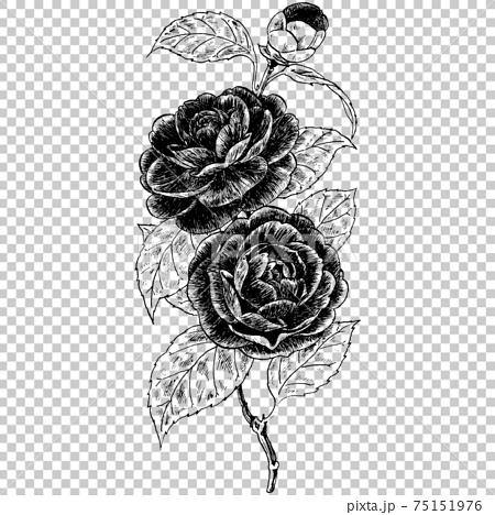 植物画 - カメリア 75151976