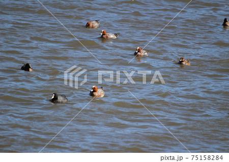 冬の川で泳ぐヒドリガモの群れとオオバン 75158284