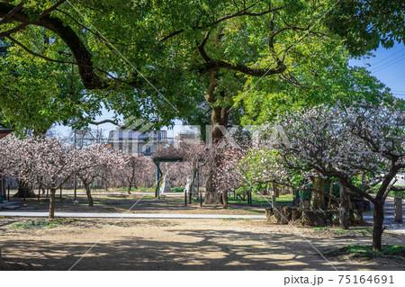 新型コロナウイルスで、梅の花が満開でも人が来なくなった日本の梅林 75164691