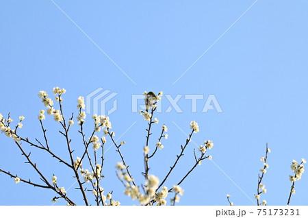 梅の木のてっぺんで蜜を吸う可愛いメジロ 75173231