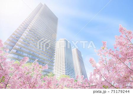 桜と高層マンション 75179244