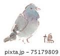 身近な鳥:鳩(ドバト・カワラバト) 75179809