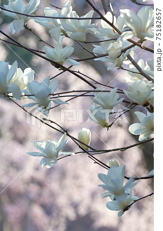 春の訪れを感じるハクモクレン(白木蓮) 75182657