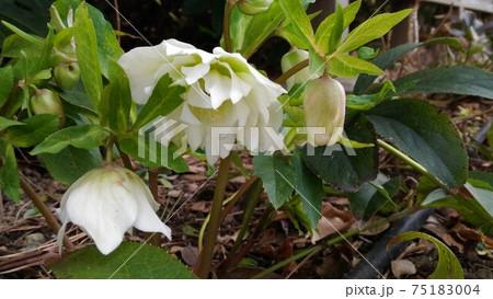 下向きに咲く白いクリスマスローズ可憐な花 75183004