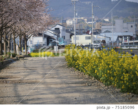 猪名川の川沿いに咲く桜並木と菜の花 75185096