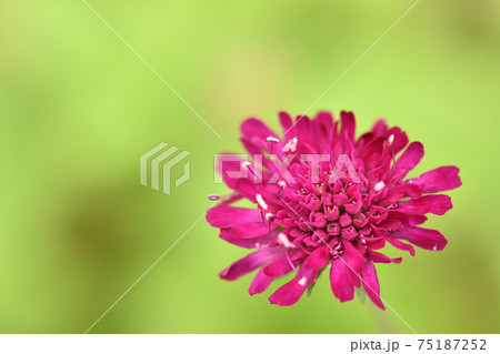 緑の背景に浮かぶ深紅の花 75187252