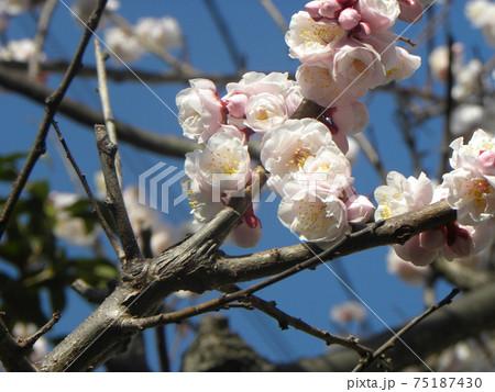 一寸遅く咲く我が家の白色のウメの花 75187430