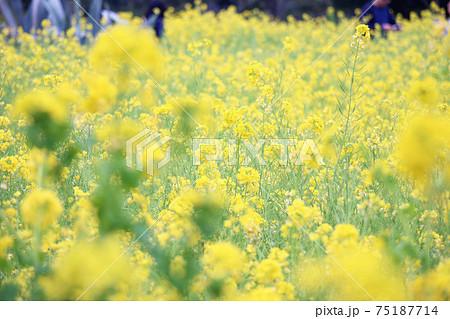 イエローとグリーンが綺麗な菜の花畑 75187714