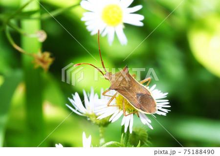 ヒメジオンの花に止まるハリカメムシ 75188490
