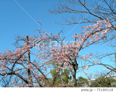 もう直ぐ満開の稲毛海岸駅前の河津桜の桃色の花 75189118