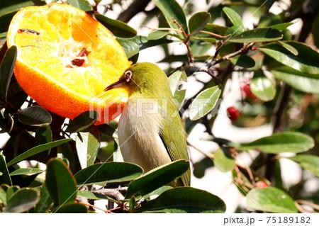 野鳥:メジロ:ミカン:食事:ピラカンサの木 75189182