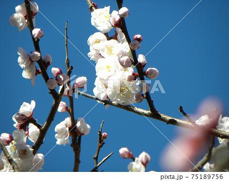一寸遅く咲く我が家の白色のウメの花 75189756