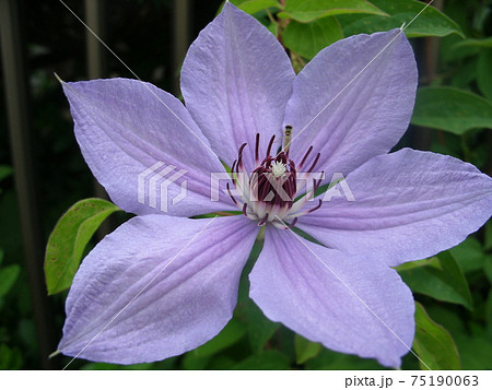 紫色の満開のクレマチスClematis 75190063