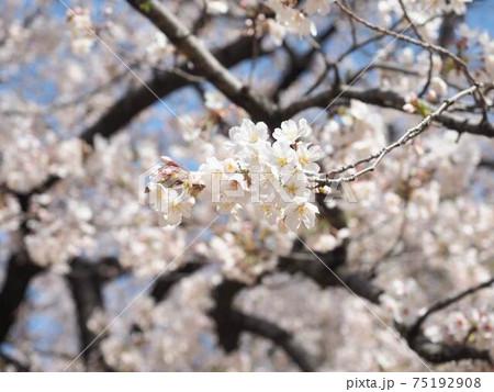桜の花 『和風イメージ』(東京) 75192908