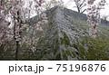 雨の盛岡城に咲く桜 75196876