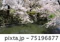 弘前公園のお堀沿いに咲く桜 75196877