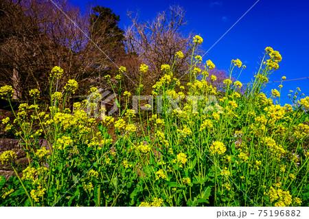 春の国東半島 富貴寺前に咲く黄色い菜の花 75196882
