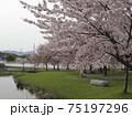 赤穂城に咲く桜 75197296