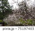 甲府城に咲く梅の花 75197403