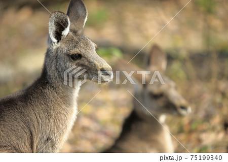 大牟田市 動物園 カンガルー、 75199340