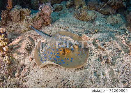 砂の海底で休むルリホシエイ (ラス・モハメッド国立公園、シャルム・エル・シェイク、紅海、エジプト) 75200804