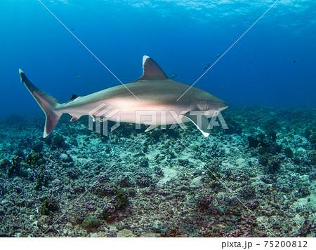 珊瑚礁を泳ぐツマジロ (ランギロア環礁、ツアモツ諸島、仏領ポリネシア) 75200812
