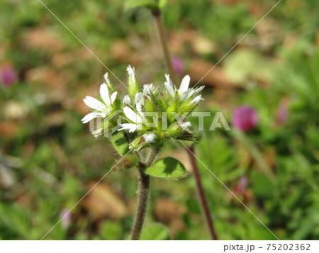 野草の白い可愛いタネツケバナの白い花 75202362