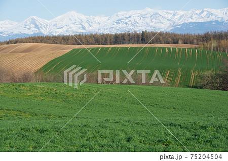 春の晴れた日の緑の牧草畑と残雪の山並み 十勝岳連峰 75204504