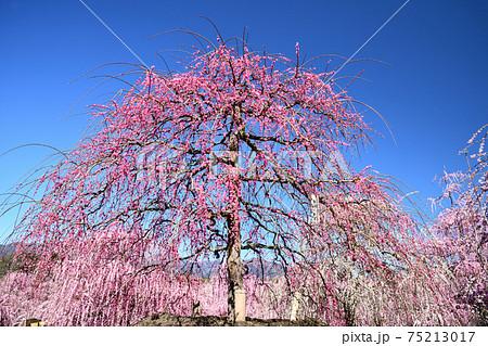 鈴鹿の森庭園のしだれ梅(難波しだれ) 75213017