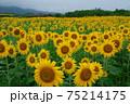 ひまわり咲く 75214175
