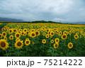 ひまわり咲く 75214222