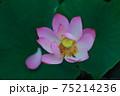 蓮の花 75214236