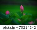 蓮の花 75214242